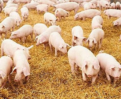 Photo of Разведение свиней как бизнес:  С чего начать, как преуспеть