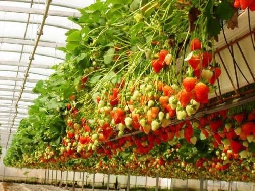 Photo of Бизнес по выращиванию клубники: достоинства и недостатки, тонкости дела