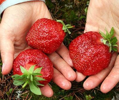 Photo of Бизнес идея: выращивание клубники
