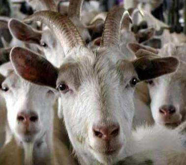 Photo of Разведение коз в домашних условиях как бизнес для села