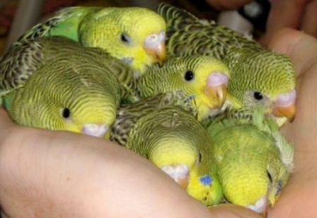 Photo of Бизнес по разведению попугаев