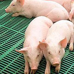 Photo of Что нужно учитывать при открытии бизнеса по выращиванию свиней?