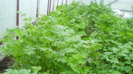 Выращивание зелени в теплице как бизнес, идея заработка
